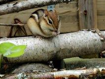 Сибирский бурундук на журнале березы Стоковое Фото