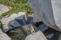 Сибирский бурундук на наблюдать пути горы стоковые фото