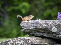 Сибирский бурундук на утесе Стоковые Фотографии RF