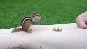 Сибирский бурундук принимая арахисы от персоны Стоковые Изображения