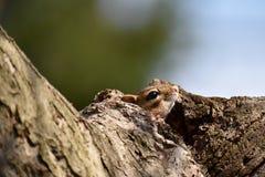 Сибирский бурундук пряча в дереве Стоковые Фото
