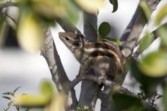 Сибирский бурундук пряча в листве Стоковое Фото