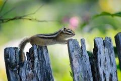 Сибирский бурундук сибиряка фото Стоковые Изображения