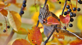 Сибирский бурундук с красивыми цветами падения Стоковое Фото