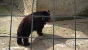 Бурый медведь в клетке видеоматериал