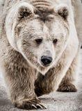 Сибирский бурый медведь в лесе Стоковое фото RF