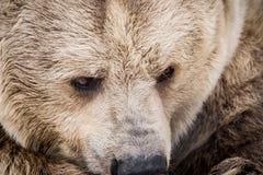 Сибирский бурый медведь в лесе Стоковое Изображение