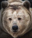 Сибирский бурый медведь в лесе Стоковое Фото