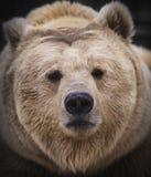 Сибирский бурый медведь в лесе Стоковые Изображения