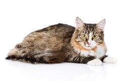 Сибирский кот лежа и смотря камеру Изолировано на белизне стоковая фотография rf