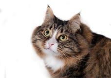 Сибирский кот изолированный на белой предпосылке Стоковое фото RF