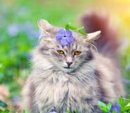 Сибирский кот сидя на лужайке барвинка Стоковые Изображения RF