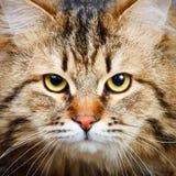 Сибирский кот Стоковое Изображение