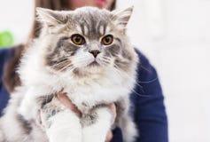 Сибирский кот Стоковое фото RF