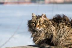 Сибирский меховой кот стоковая фотография