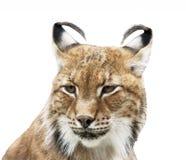 Сибирский портрет рыся на белизне Стоковое фото RF