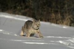 Сибирский рысь, рысь рыся Стоковые Изображения RF