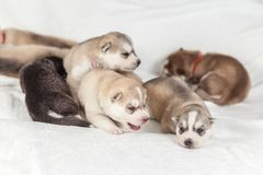 Сибирский сиплый щенок один месяц стоковая фотография rf