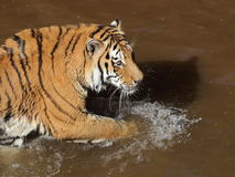 Сибирский тигр в воде стоковая фотография
