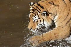 Сибирский тигр в воде стоковые изображения rf
