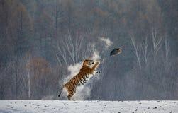 Сибирский тигр в скачке улавливает свою добычу Очень динамическая съемка Китай Харбин Провинция Mudanjiang Парк Hengdaohezi стоковая фотография