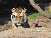 Сибирский тигр за стволом дерева стоковая фотография rf