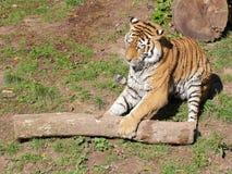 Сибирский тигр играя - вид спереди стоковая фотография