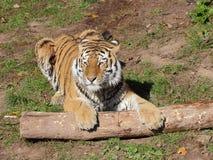 Сибирский тигр играя портрет стоковые фото