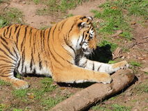 Сибирский тигр играя портрет стоковое фото rf