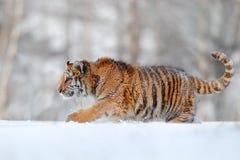 Сибирский тигр идя в снег Сцена зимы с тигром Амура Сцена живой природы от природы Стоковое Изображение RF