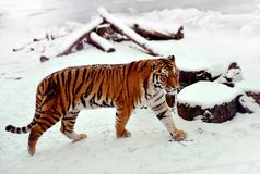 Сибирский тигр на снеге Стоковое Фото