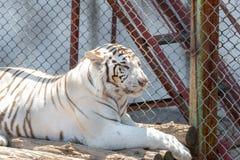 Сибирский тигр снега в мехе зоопарка, белых и коричневых, сидя снаружи в солнце, Стоковые Фото