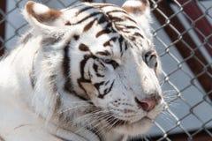 Сибирский тигр снега в мехе зоопарка, белых и коричневых, сидя снаружи в солнце, Стоковое Фото