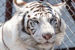 Сибирский тигр снега в мехе зоопарка, белых и коричневых, сидя снаружи в солнце, Стоковое Изображение RF