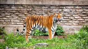 Сибирский тигр с языком вне Стоковая Фотография RF