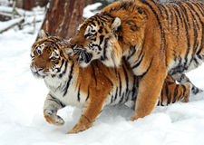 Сибирский тигр Стоковая Фотография RF