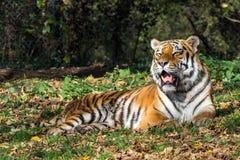 Сибирский тигр, altaica Тигра пантеры в зоопарке стоковое фото