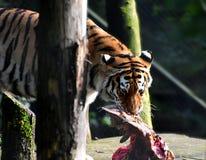 Сибирский тигр, altaica Тигра пантеры, мужчина стоковое изображение rf