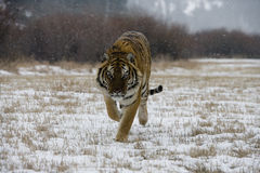 Сибирский тигр, altaica Тигра пантеры Стоковая Фотография RF