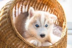 Сибирский щенок стоковое изображение rf