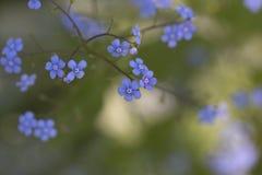 Сибирский Bugloss - Джек Frost Brunnera Стоковое фото RF