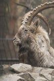 Сибирский ibex Стоковая Фотография RF