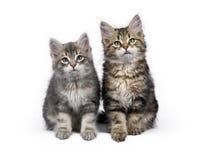 2 сибирских изолированного сидеть кота/котят леса на белой предпосылке Стоковое Фото