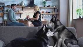 2 сибирских лайки сидят на кресле Человек и женщина говоря в кухне на предпосылке лайок сток-видео