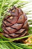 сибиряк кедра ветви Стоковые Изображения RF