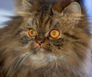 сибиряк кота стоковые фотографии rf