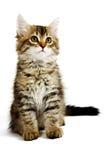 сибиряк котенка стоковое изображение rf