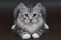 сибиряк котенка Стоковые Фотографии RF