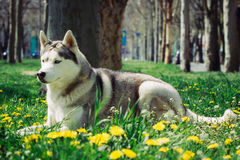 сибиряк собаки осиплый Стоковая Фотография RF