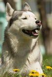 сибиряк собаки осиплый Стоковое Изображение RF